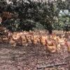 三黄鸡(鸡项)3